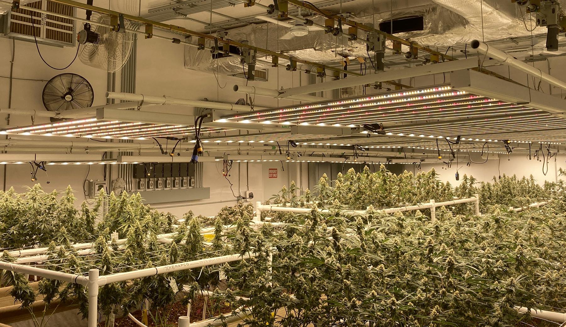 cannabis under adjustable grow lights