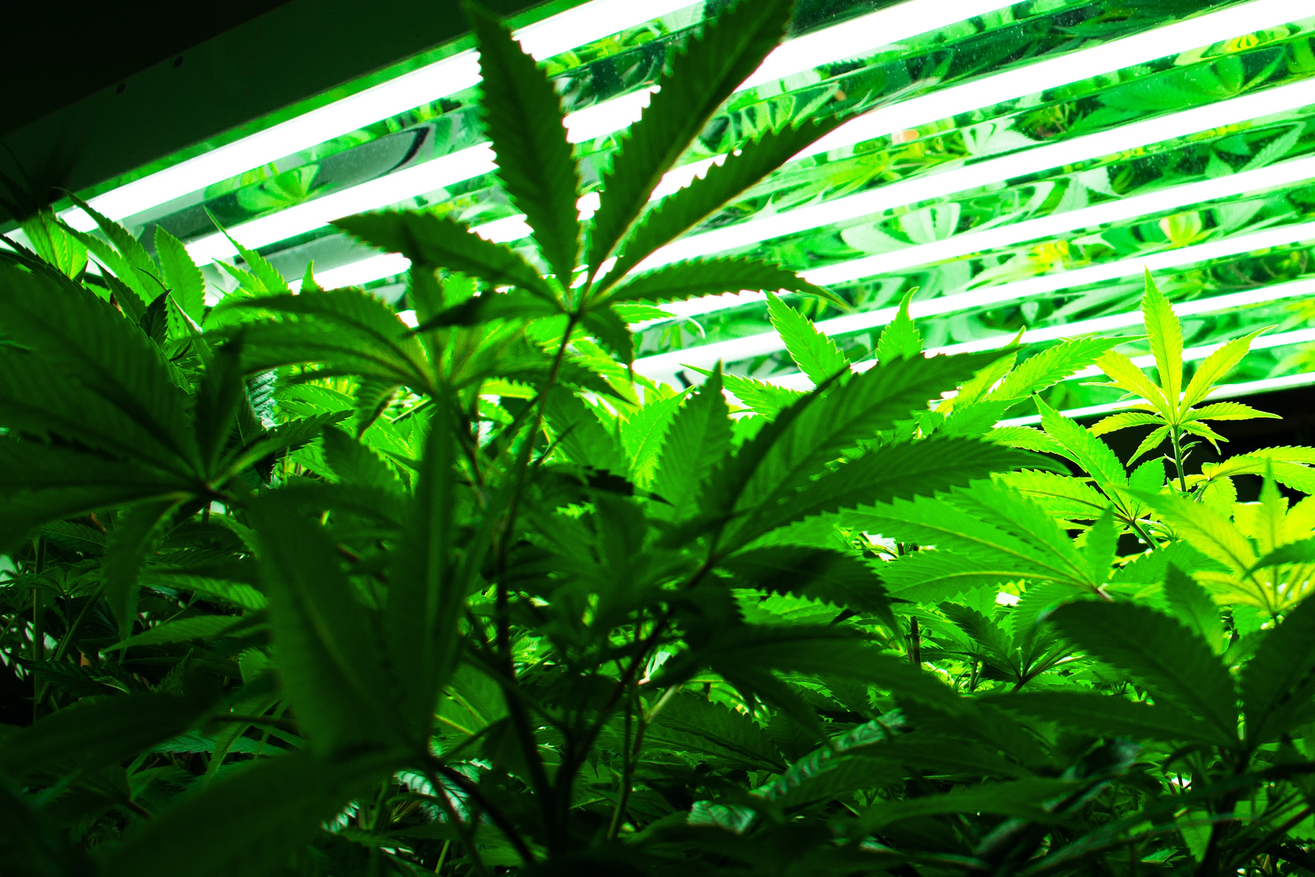 cannabis plants growing under overhead light