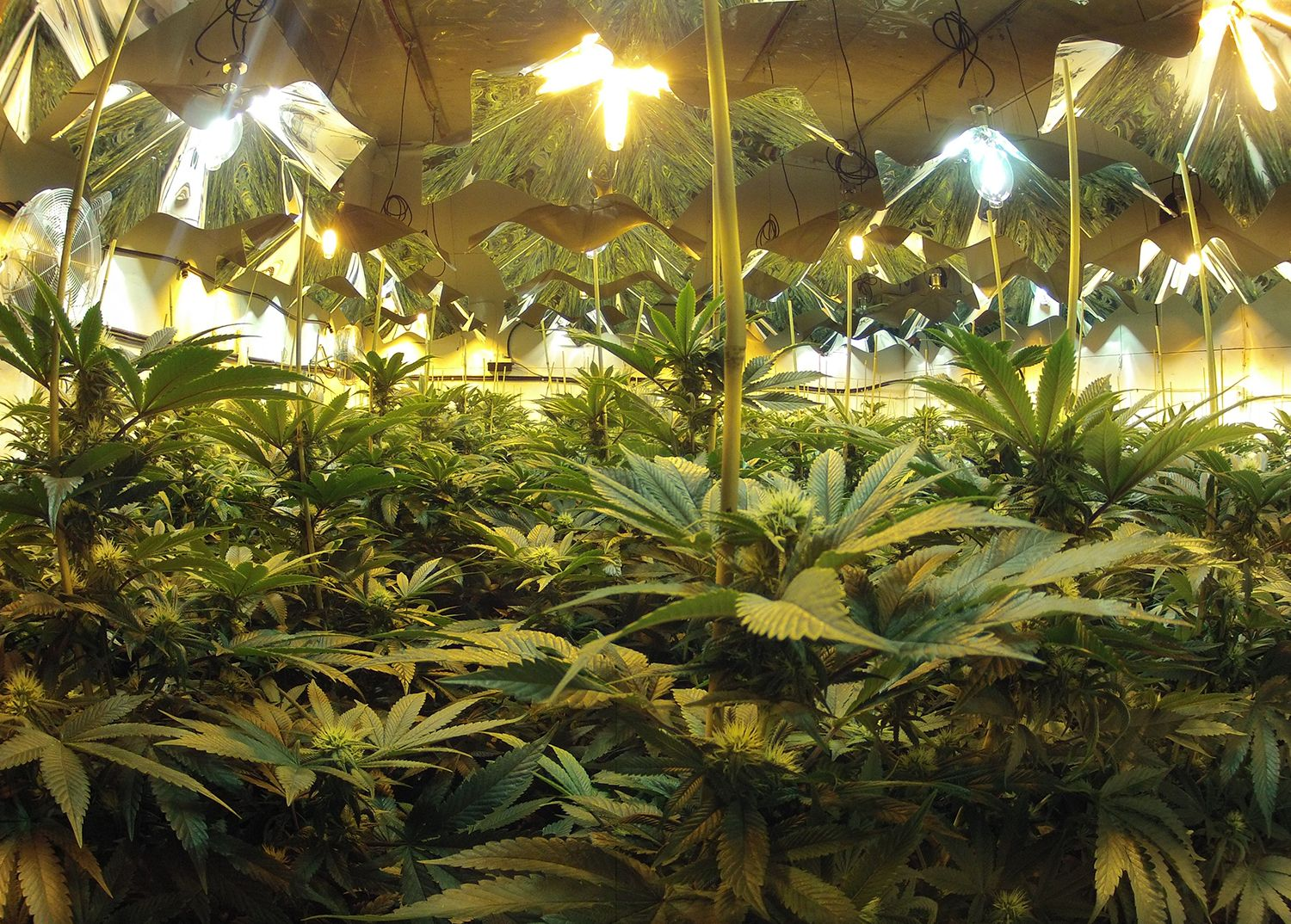 multiple plants of cannabis drying under light