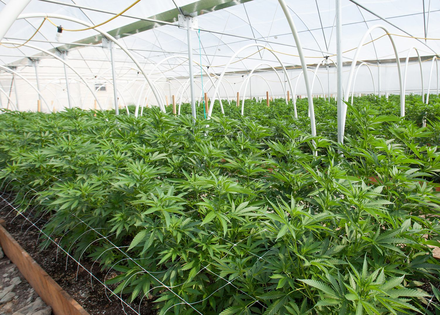 multiple cannabis plants in a greenhouse