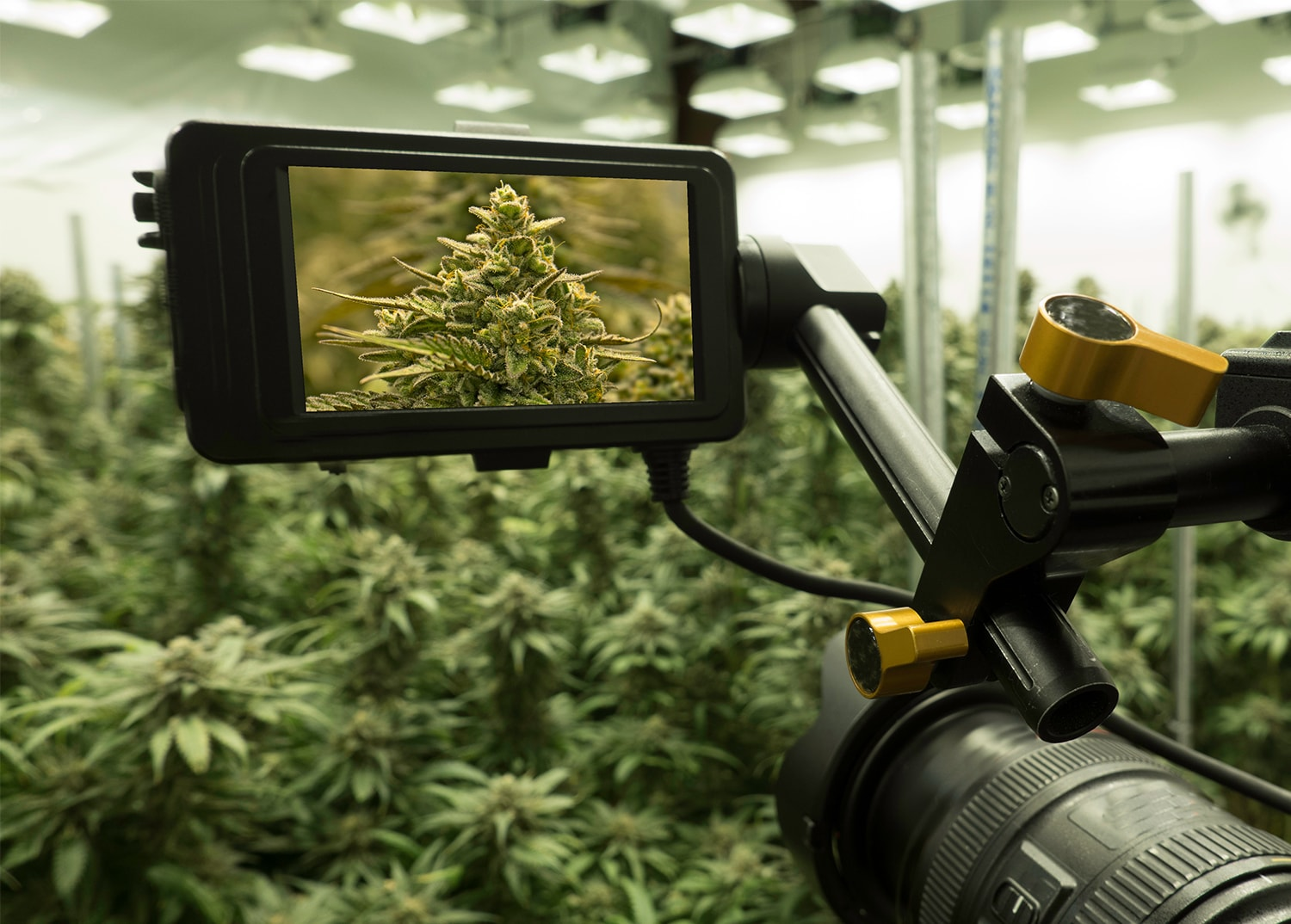 video series of cannabis cultivation process