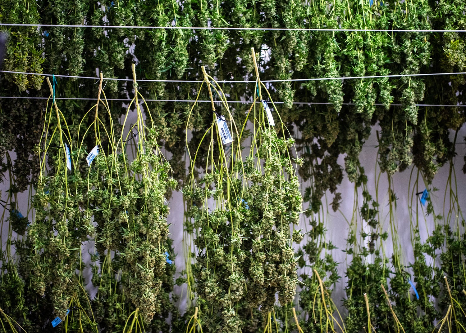 cannabis branches hung on wires to dry