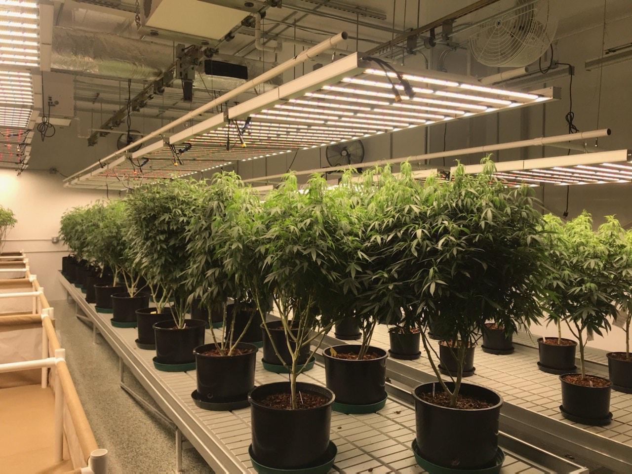 True Organics Mother Plants Under Standard Lift