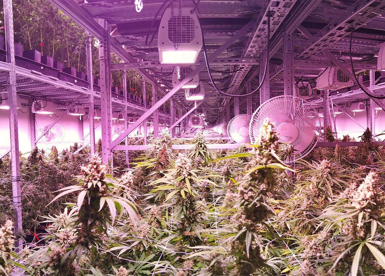 cannabis growing under lighting system