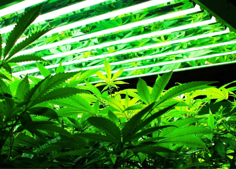 cannabis operation using overhead grow lighting to achieve grow room efficiency