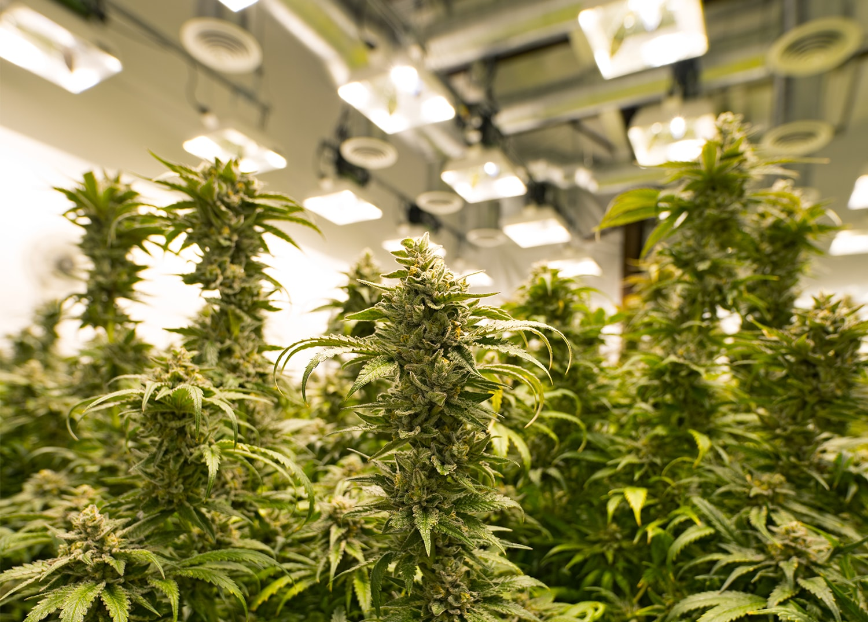marijuana plants in grow room