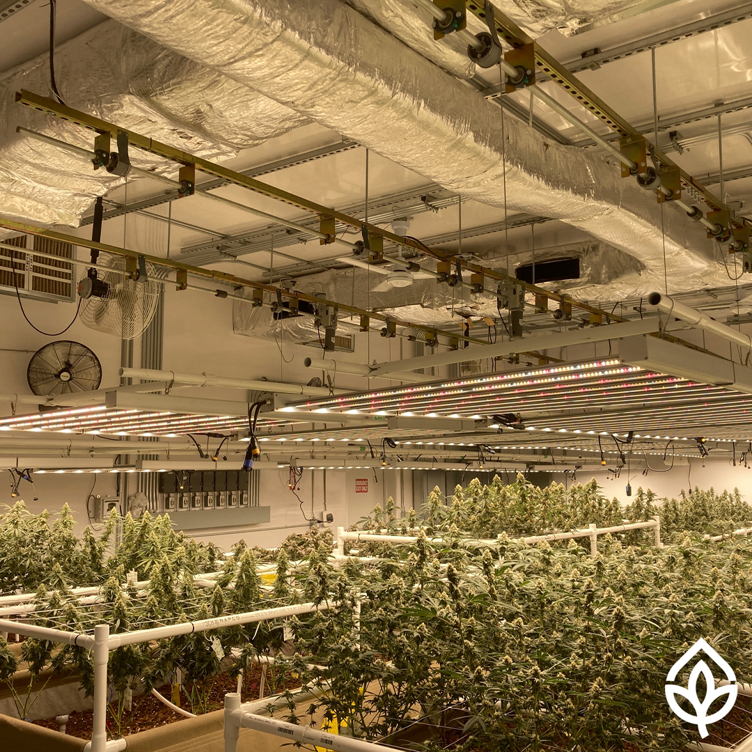 close-up of a room with medical plants under the lights
