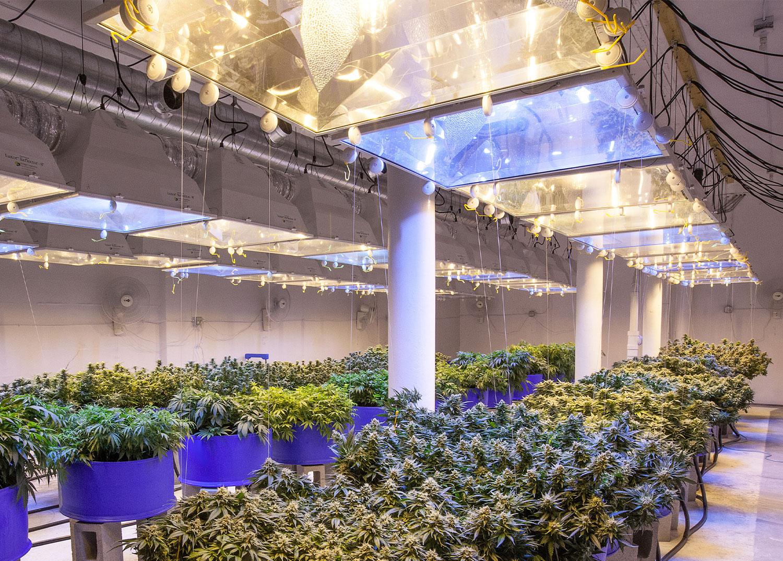 rows of lifted cannabis grow lights