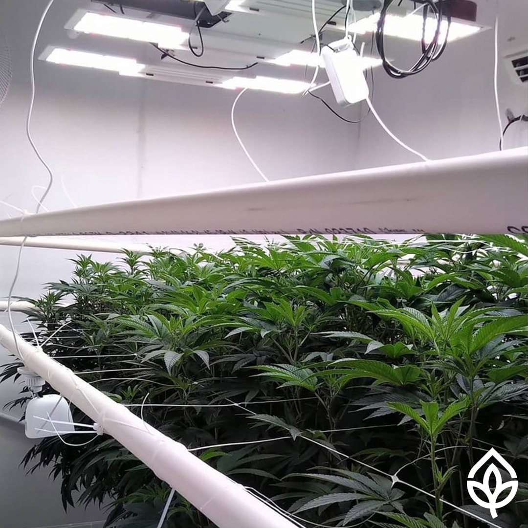 GML Standard Light Lift with marijuana growth in progress